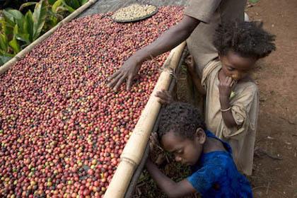 Ethiopie, province de Kaffa, Mankra. Région d'origine du café. Gedamnesh Tameru fait sécher du café naturel. 2004